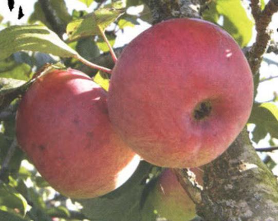 Осенние сорта яблок - Ауксис Сад и огород