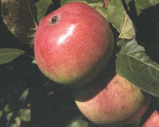 Осенние сорта яблок  - Анис алый Сад и огород