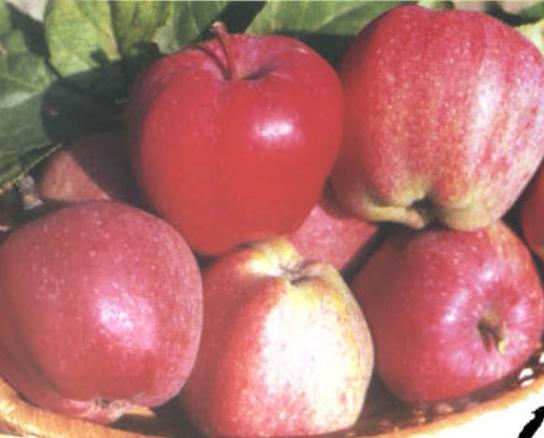 Зимние сорта яблок - Старс Сад и огород