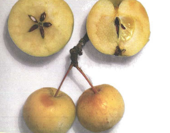 Осенние сорта яблок - Уральское наливное Сад и огород