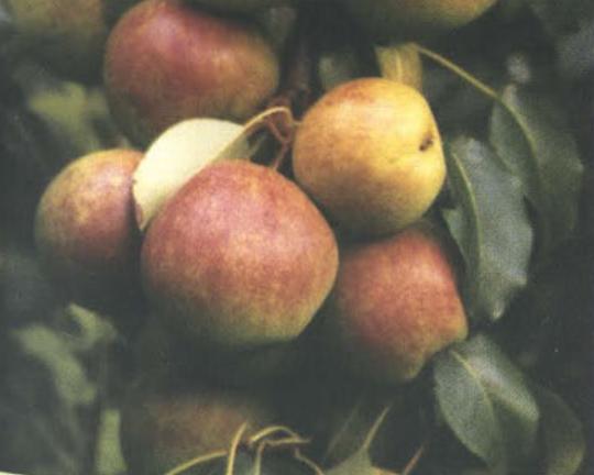 Отрадненская(Осенний сорт груш) Сад и огород
