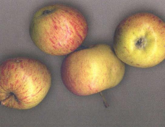 Летние сорта яблок  - Коробовка (Медуничка) Сад и огород