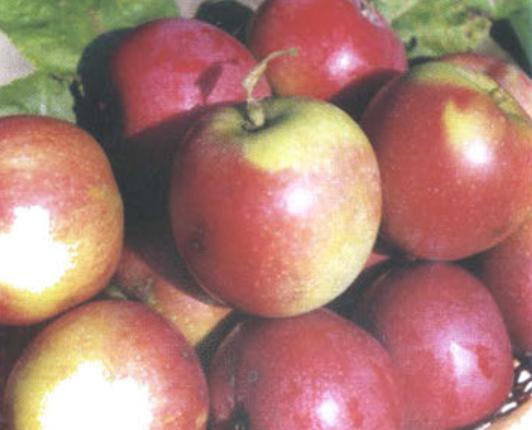 Зимние сорта яблок - Фореле Сад и огород
