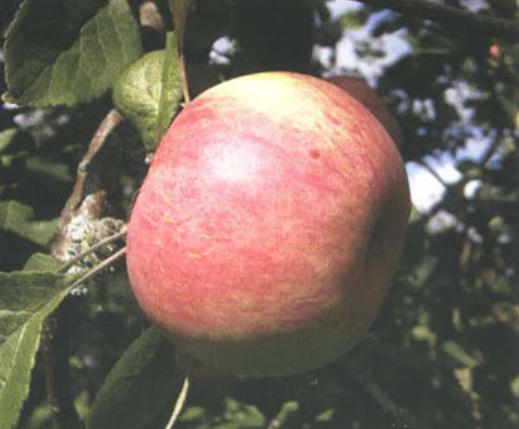 Осенние сорта яблок - Коричное полосатое Сад и огород