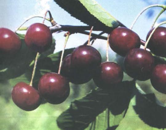 Багряная (Сорт вишни среднего срока созревания) Сад и огород