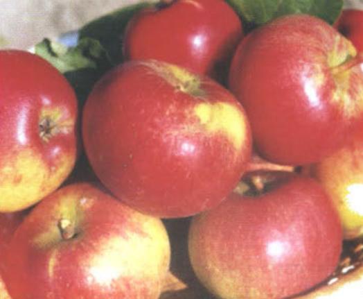 Сорт яблок яблоко адама