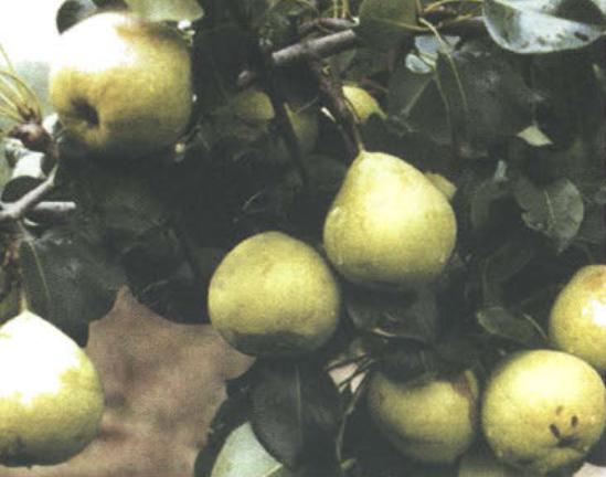 Осенние сорта груш - Память Жегалова Сад и огород