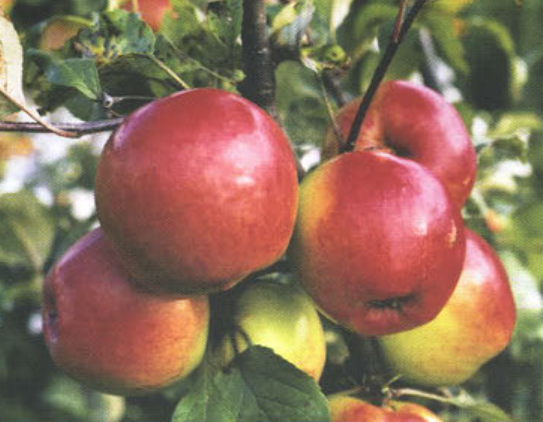 Зимние сорта яблок - Дружное Сад и огород