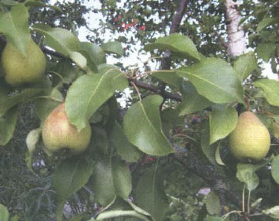 Летние сорта груш - Чижовская Сад и огород