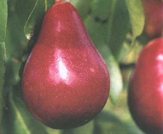 Осенние сорта груш - Нарядная Ефимова Сад и огород