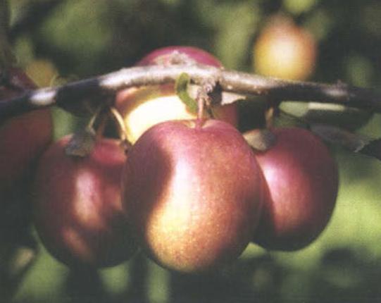 Осенние сорта яблок - Шафран саратовский Сад и огород