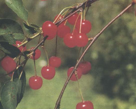 Васильевская (Сорт вишни среднего срока созревания) Сад и огород