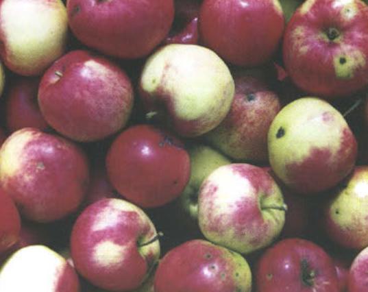 Летние сорта яблок - Мантет Сад и огород