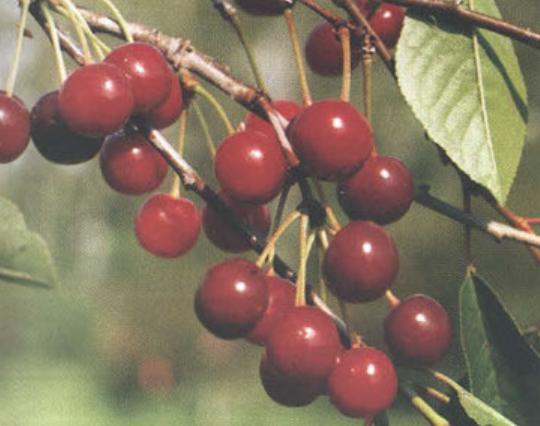 Первоцвет (Сорт вишни среднего срока созревания) Сад и огород