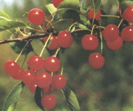 Шпанка шимская (Сорт вишни среднего срока созревания) Сад и огород