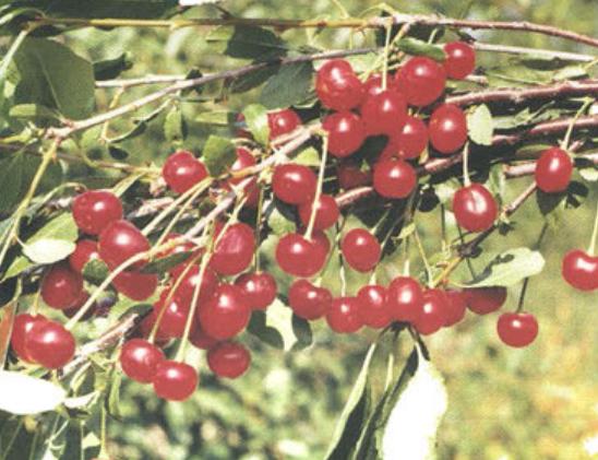 Поздние сорта вишни - Полевка Сад и огород