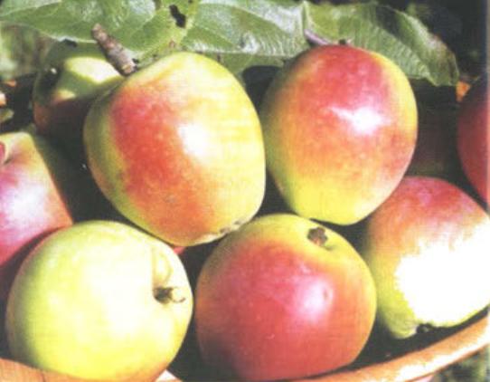 Зимние сорта яблок - Белорусский синап Сад и огород