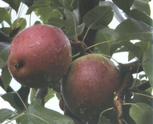 Осенние сорта груш - Краснобокая Сад и огород