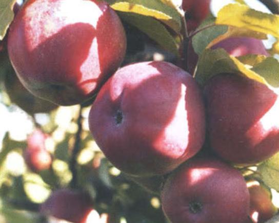 Зимние сорта яблок - Антей Сад и огород