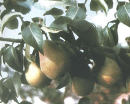 Кафедральная (Летний сорт груш) Сад и огород