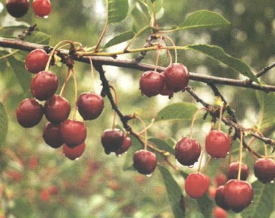 Жуковская (Сорт вишни среднего срока созревания) Сад и огород