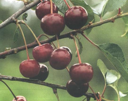 Булатниковская (Сорт вишни среднего срока созревания) Сад и огород