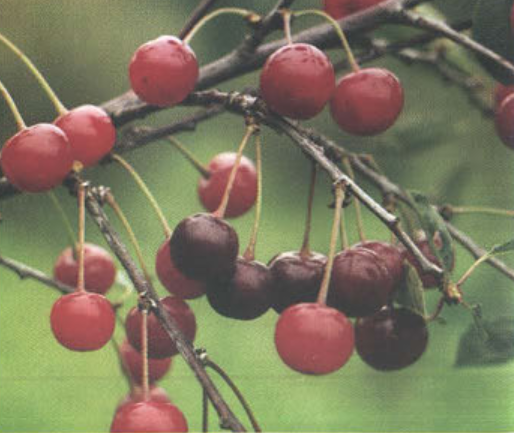 Отечественная (Сорт вишни среднего срока созревания) Сад и огород