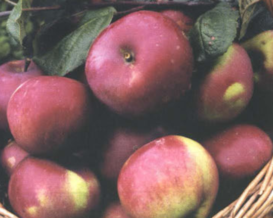 Осенние сорта яблок - Орловская гирлянда Сад и огород