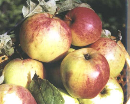 Осенние сорта яблок - Осеннее полосатое (Штрейфлинг) Сад и огород