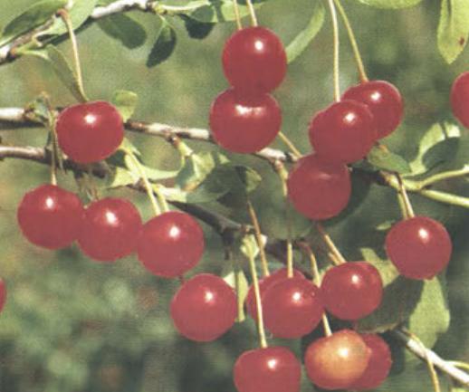 Заря Татарии (Сорт вишни среднего срока созревания) Сад и огород