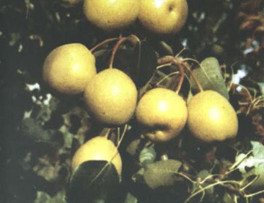 Осенние сорта груш - Ларинская Сад и огород