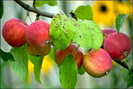 Летние сорта яблок - Алтайское румяное Сад и огород