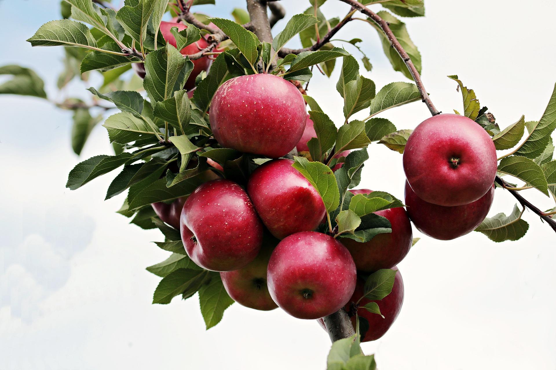 Летние сорта яблок - Брусничное Сад и огород