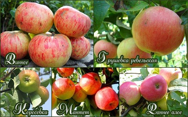 Летние сорта яблок - Грушовка ревельская Сад и огород
