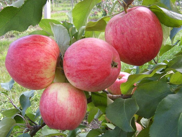 Летние сорта яблок - Июльское Черненко Сад и огород