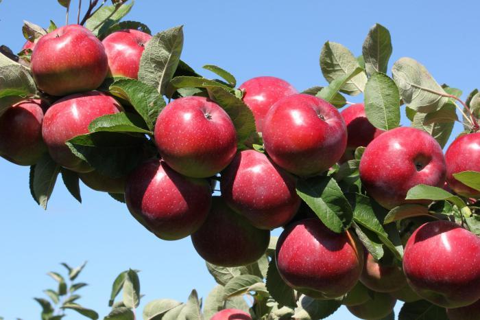 Осенние сорта яблок - Анис свердловский Сад и огород