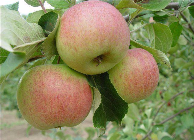 Осенние сорта яблок  - Балтика Сад и огород