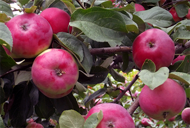 Осенние сорта яблок - Боровинка (Харламовское) Сад и огород