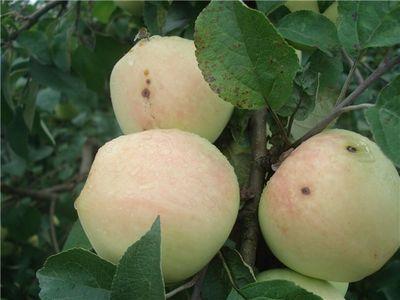 Осенние сорта яблок - Рижский голубок (Сеянец Требу) Сад и огород