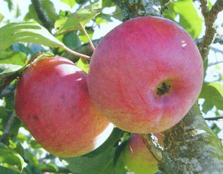 Осенние сорта яблок - Тамбовское Сад и огород