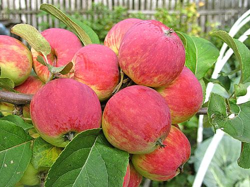 Осенние сорта яблок - Уралец Сад и огород