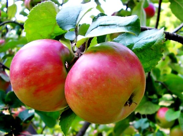Осенние сорта яблок - Жигулевское Сад и огород