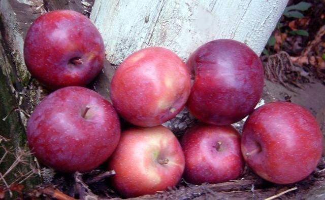Осенние сорта яблок - Бессемянка мичуринская Сад и огород