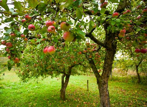 Яблоня Сад и огород
