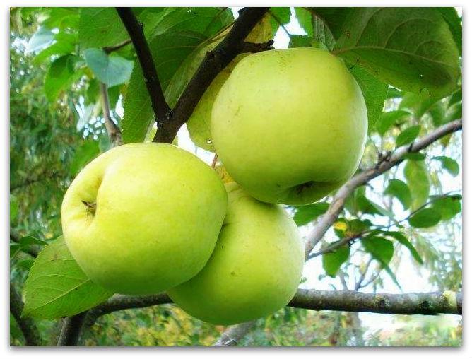 Зимние сорта яблок - Антоновка обыкновенная Сад и огород