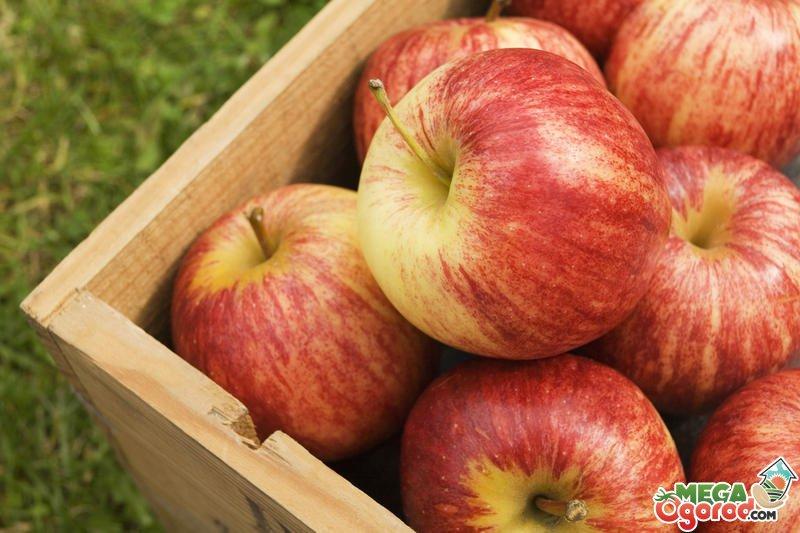 Зимние сорта яблок - Ароматное Сад и огород