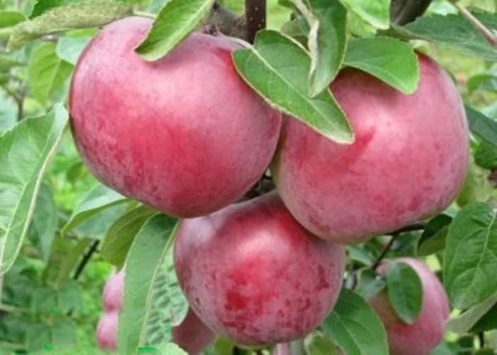 Зимние сорта яблок  - Белорусское малиновое Сад и огород