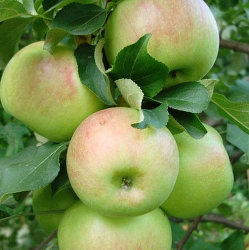 Зимние сорта яблок  - Богатырь Сад и огород