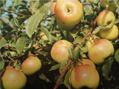 Зимние сорта яблок - Теллисааре Сад и огород