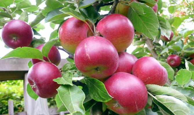 Зимние сорта яблок - Звездочка Сад и огород